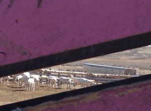 ewe, ready to lamb