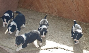 Five (of seven) of Sam's and Yonush's Border collie puppies
