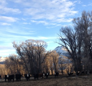 even more cows photo by Siobhan Lally (no snow in mid-February)