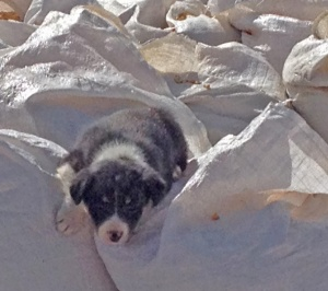 Border collie puppy hanging out on the corn sacks