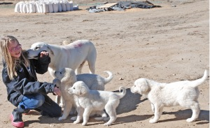 Siobhan with guardian dog puppies--we like 'em socialized!