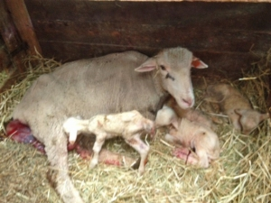 Purebred Rambouillet ewe with five--count 'em five!--lambs