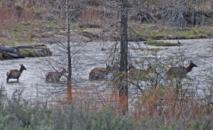 Why do the elk cross the river?