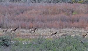 Elk migrating