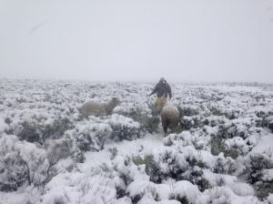 Antonio helps a ewe on the Loco lambing ground