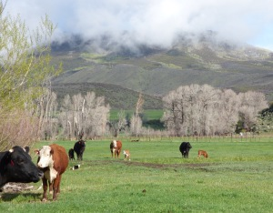 Cows and calves with Battle Mountain