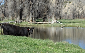 cow and ducks on pond on Home Ranch