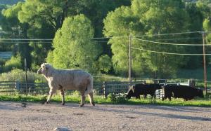 Dukin with bulls