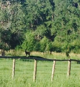 deer in Cow Pasture