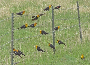 Four and twenty (almost) yellow-headed blackbirds at the Muddy Creek wetland--except for the outlier on the top right. photo by Meghan Lally