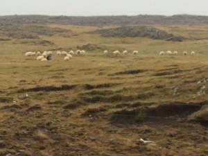sheep near lava field