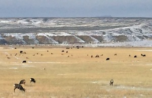 Today, Pat spotted deer, antelope, elk and cows all hanging out together near the River Bridge