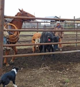 Eamon sorting the calves