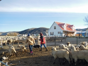 Meghan and Oscar putting the lambs in the corral