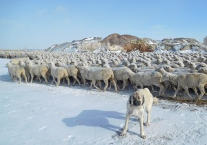 Ovcharka livestock guardian dog sees them through the gate