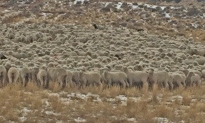 Yearling ewes near Powder Wash