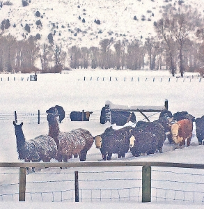 Llamas on the feed line