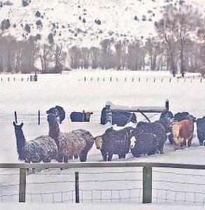 Llamas on the feed line