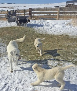 Guard dogs playing