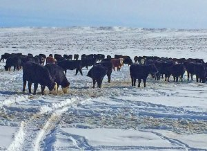 heifers in snow at Powder Flat