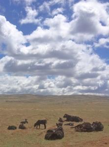 heifers and calves at Powder Flat