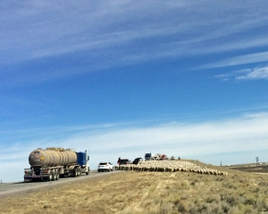 sheep heading down from the Union Pacific overpass