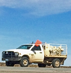 Most of the Livestock Guardian Dogs rode in the truck--after various escape attempts