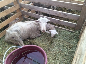 Meanwhile back at the lambing shed