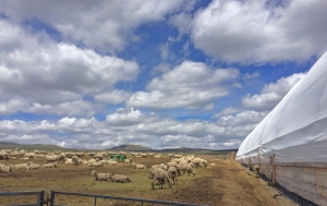 ewes in the drop pen