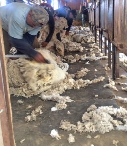 careful shearers