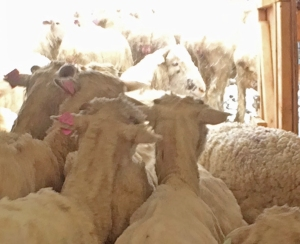 shorn ewes heading out the door