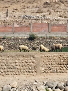 Sheep grazing near Chivay