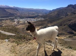 llama cria above Chivay