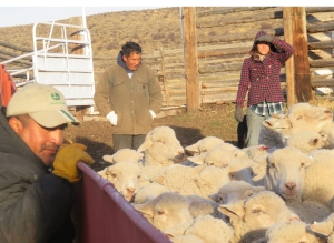 Pepe, Edgar and Raylor bringing up the ewes