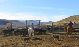 Taylor and Casey bringing in the cows and calves