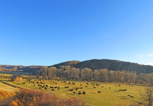 Cows and calves in the Lower Meadow