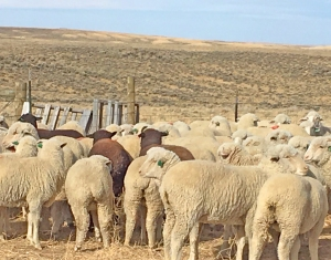 the yearling ewes