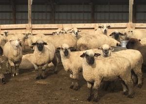 Lambs on Harper feedlot