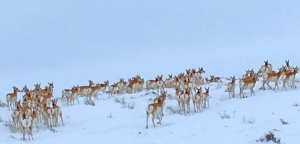 Some of several thousand antelope on the move