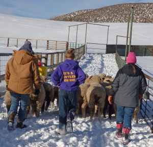 The All-Girl sheep moving crew--Taylor, Siobhan and Meghan