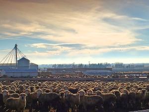 Lambs on feed