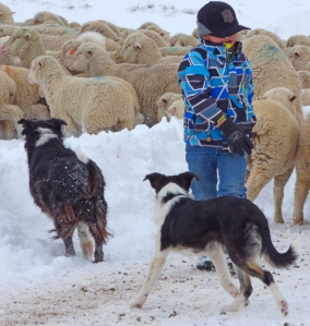 McCoy, Sadie and Cora moving the sheep