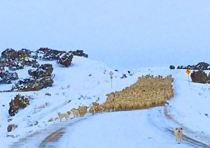 Yearling ewes and old ewes heading to Powder Flat
