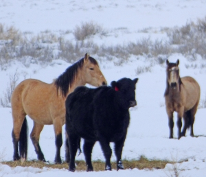 Feral (unadopted) wild horses on the feed line with our cows