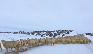 Winter sheep on the trail