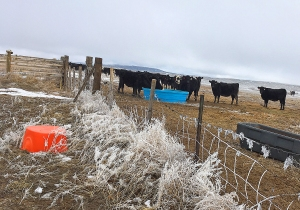 Heifers with more frost