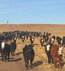 Heifers on feed in Nebraska