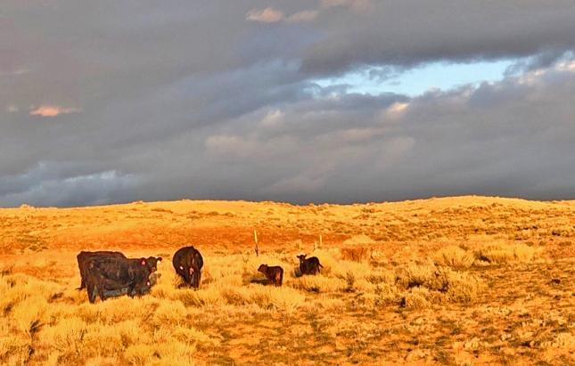desert calviing